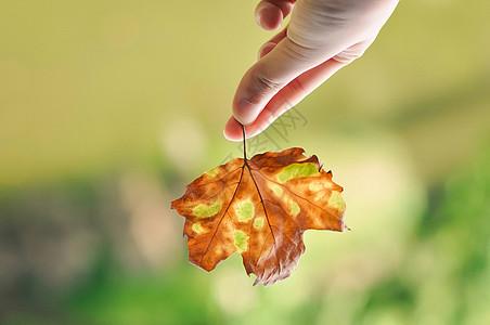 手中的梧桐落叶图片