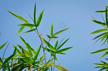 天空的竹叶图片
