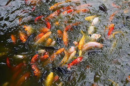 水池中正在抢食的金鱼图片