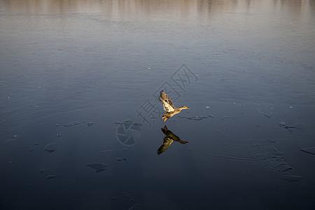 野鸭起飞图片