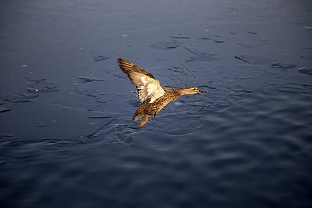 野鸭飞了图片