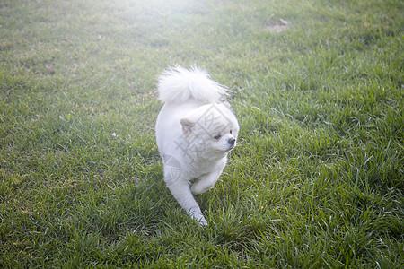 小白狗图片