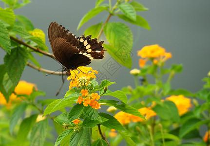 蝴蝶采蜜图片