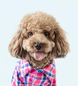 泰迪狗狗图片