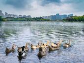 湖里的鸭 鹅图片