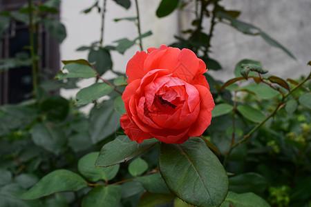 绿叶中的红色玫瑰花图片