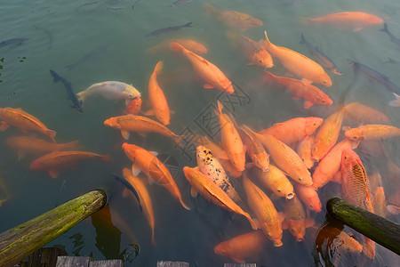 水里成群结队的金鱼图片