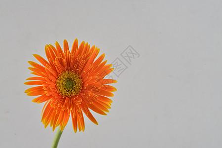 橙色非洲菊图片