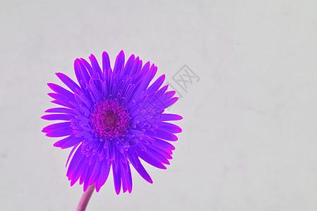 紫色非洲菊图片