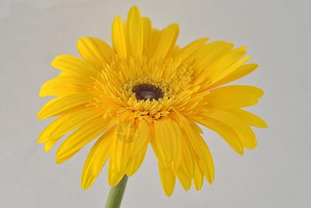 黄色非洲菊图片