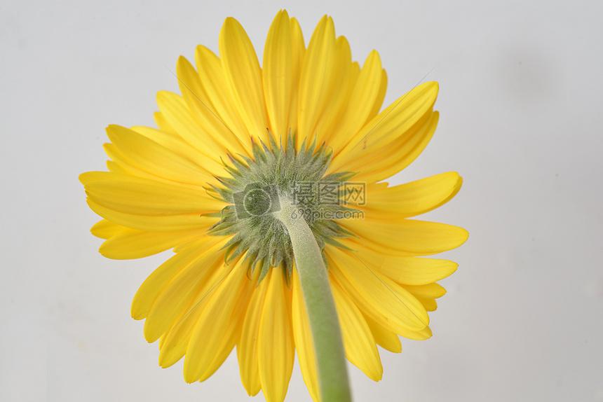 黄色非洲菊背面图片