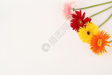 四色非洲菊白色背景摆拍图片