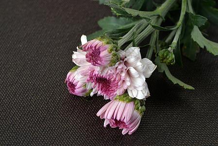 紫色雏菊图片