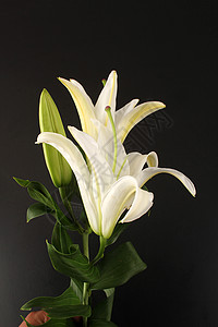 白色香水百合图片