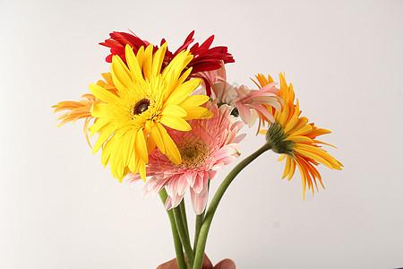 非洲菊花束图片