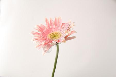 淡红粉色非洲菊图片