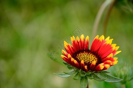 非洲菊 雏菊图片