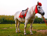 白龙马带着红色丝绦图片