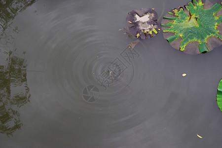 阴天缺氧的鲫鱼图片