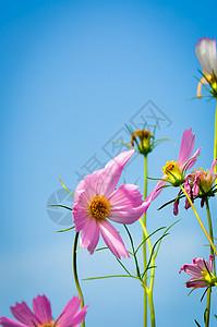 天空下的粉色花图片