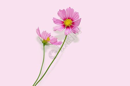 粉色花朵波斯菊背景图片