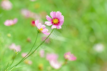 花园的的格桑花图片
