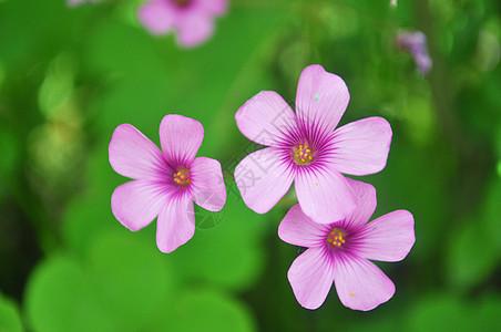 三朵小花图片