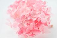 粉色绣球图片