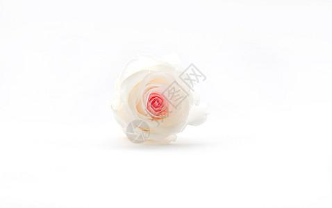 粉心心白玫瑰图片