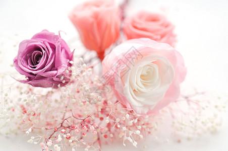 鲜花特写 玫瑰图片