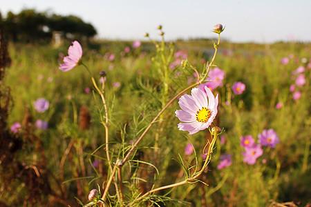 郊外野花遍地粉色花朵特写图片