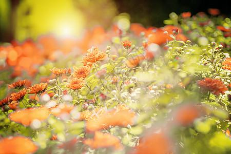 夕阳下的花丛图片