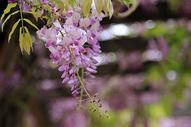 灿烂盛开的紫藤花图片