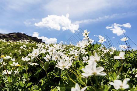 蓝天白云野菊花图片
