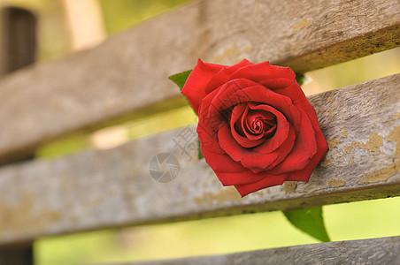 一朵红玫瑰图片