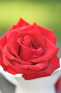 红玫瑰特写图片