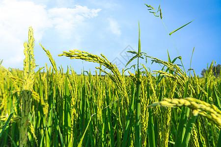 生长的水稻图片