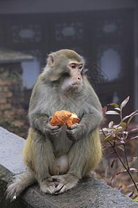 张家界猴子图片