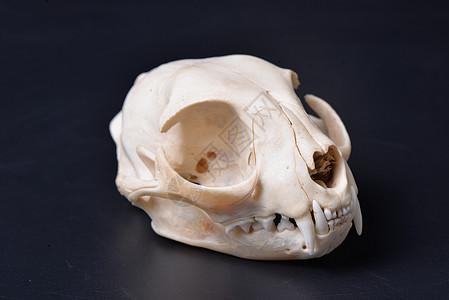 超酷帅气原始野性恐怖草原斑猫豹猫头骨骨头牙齿眼眶筛骨骨质品标本素描教具图片