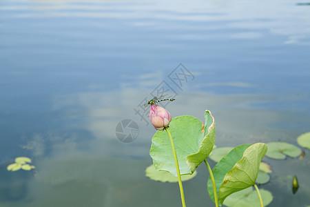 小荷才露尖尖角 早有蜻蜓立上头图片
