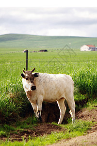 草原上的牛图片