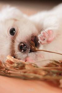 可爱的白色小狗图片