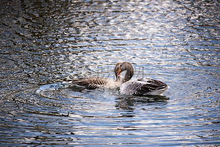 水中游泳的野鸭子图片