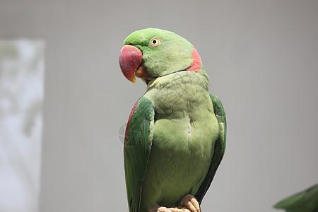 红嘴鹦鹉图片
