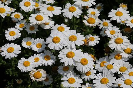 白色雏菊摄影图片