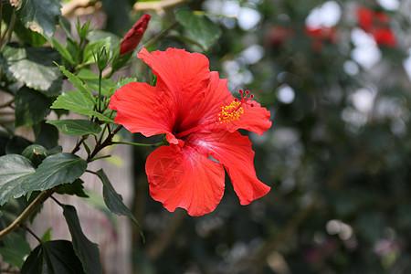 红色扶桑花图片