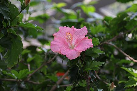 粉色扶桑花图片