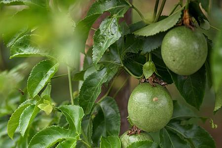 百香果图片
