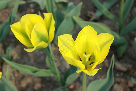 植物园里的郁金香图片