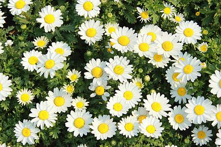 植物园里的密集的野菊花图片